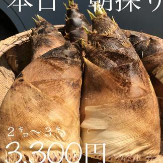 山梨県産朝どりタケノコ 2キロ~3キロ 野菜/その他野菜通販
