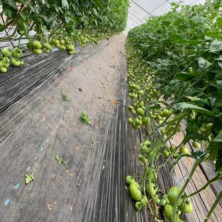 お得!まるまるトマト2キロ 箱込みで2キロ以内になります。 野菜/トマト通販