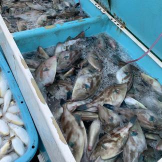 ✨期間限定  瀬戸内  ウマズラハギのみ詰め合わせ✨ 3キロ〜 魚介類/セット・詰め合わせ通販