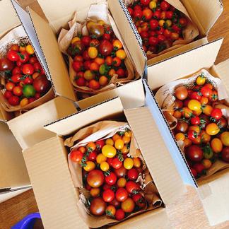 【夏休み限定!!送料さらに値引き!!】カラフルミニトマトのぐちふぁーむ安曇野1キロ 1キロ 野菜/トマト通販