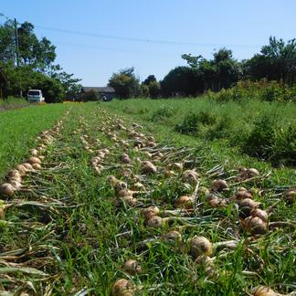 【傷み補償分10%増量!】玉ねぎ8kg+傷み補償分800g(規格外のB品も含む無選別品・栽培期間中農薬、化学肥料不使用) 8kg 野菜/玉ねぎ通販