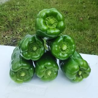 味の濃いピーマン1.5㎏ 1.5㎏ 野菜/その他野菜通販