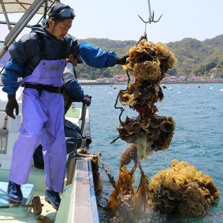 父の日!永幸丸の超新鮮岩牡蠣!特大サイズ400g超え!1,5kg分 1,5kg 魚介類/牡蠣通販