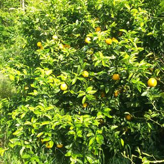 石川ファームの愛南ゴールド【河内晩柑】10kg box 10kg 果物/柑橘類通販