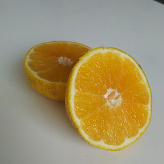 北海道向け河内晩柑10kg【訳あり】 10kg 果物/柑橘類通販