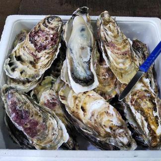 北海道噴火湾産 大粒牡蠣 生食用 15個 魚介類/牡蠣通販