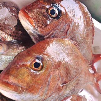 漁師飯!!天然真鯛100%の鯛めしの素(2合)x2袋 魚介類/その他魚介の加工品通販
