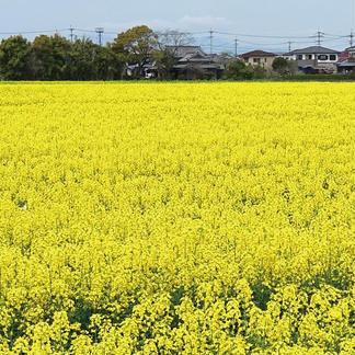大木町産「わのかおり」プレミアムピュアオイル 16.5kg 調味料/油通販
