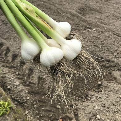 土と根っこ付き フレッシュなままお届け 生ニンニク 1キロ 果物や野菜などのお取り寄せ宅配食材通販産地直送アウル