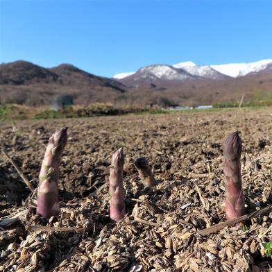 北海道一番乗り 露地アスパラ LL~M込み 1Kg 海塩30g 果物や野菜などのお取り寄せ宅配食材通販産地直送アウル