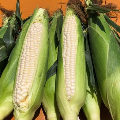 近藤農園のトウモロコシ、ホワイトショコラ 3キロ以内 キーワード: お試し 通販