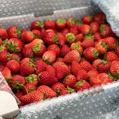 ジャム用いちごさん8kg 8kg(箱等の重さ込み) 果物や野菜などのお取り寄せ宅配食材通販産地直送アウル