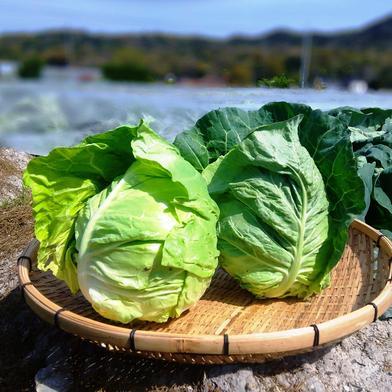 農薬不使用(無農薬)栽培の春キャベツとブロッコリーセット 春キャベツ2玉 ブロッコリー 2本 果物や野菜などのお取り寄せ宅配食材通販産地直送アウル