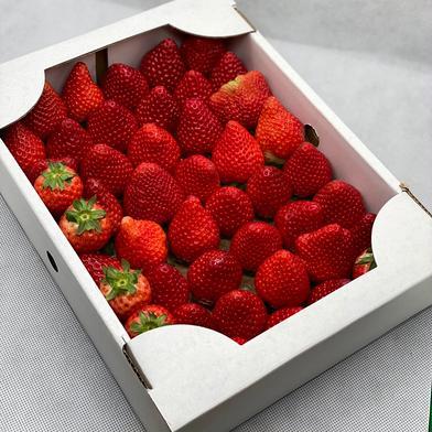 規格外いちごさん2箱(潰れが気にならない方限定) 約2kg(箱梱包重さ込み) 食材ジャンル: 果物 > いちご 通販