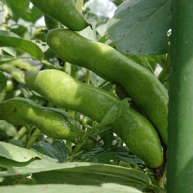 もり自然農園の無農薬そら豆 約3.0kg(約70本~80本) 果物や野菜などのお取り寄せ宅配食材通販産地直送アウル