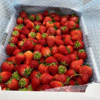 ジャム用いちごさん3kg(潰れが気にならない方限定!) 3kg 食材ジャンル: 果物 > いちご 通販