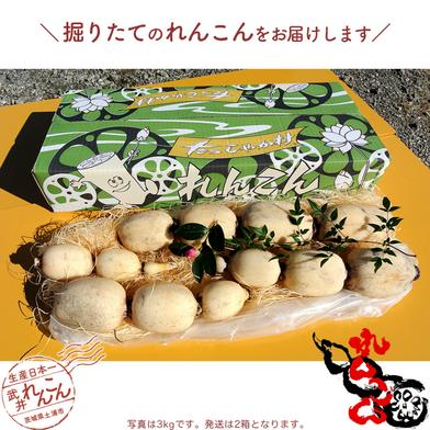 武井のれんこん 6kg (3kg+3kg) 6kg (3kg+3kg) 果物や野菜などのお取り寄せ宅配食材通販産地直送アウル