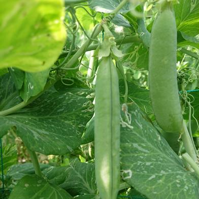 もり自然農園の無農薬グリーンピース、そら豆セット グリーンピース:約600g(さやいり)、そら豆:約2.0kg(約50本位) キーワード: そら豆 通販