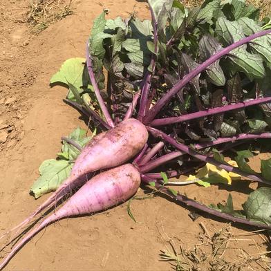 復活✨ 飲食店・大根好き必見‼️葉付きむらさき大根大根2kg🥗 2kg 大樹地農園