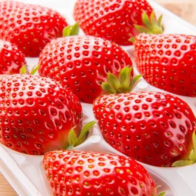 大粒イチゴ『かおり野』250g×2トレー 250g×2トレー 衝撃緩和梱包資材使用 食材ジャンル: 果物 > いちご 通販