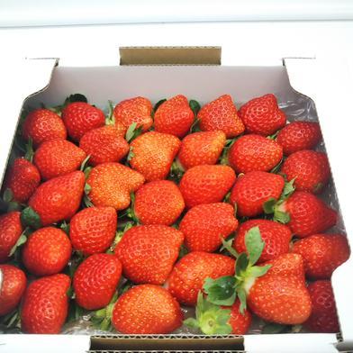 楽しみに待ちたくなる、2つの幸せが入ったイチゴの宝箱!(2品種食べ比べセット) 総重量1100g 1100g(箱や蓋、緩衝材等の重量込) 果物(いちご) 通販