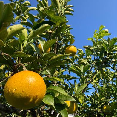 3.5kg 八朔【はっさく】 3.5kg 果物(柑橘類) 通販