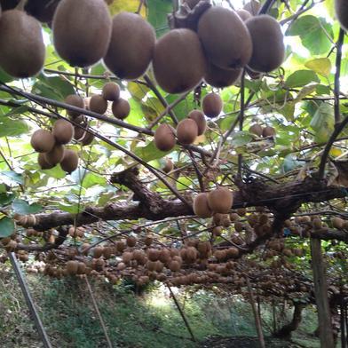 奈良の寒暖差が生み出したキウイフルーツ 約2キロ 奈良県 通販