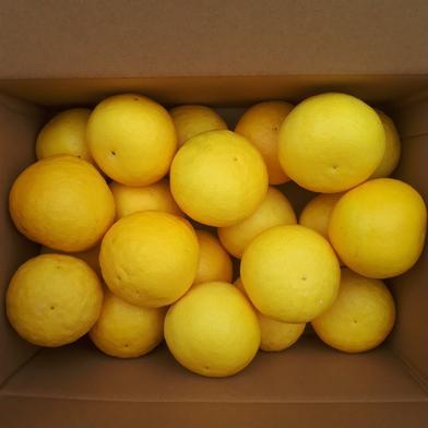 作本柑橘園の日向夏(たねなし) 3キロ(20~30個) 果物(柑橘類) 通販