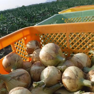 新たまねぎ 3㎏ 3㎏ 果物や野菜などの宅配食材通販産地直送アウル