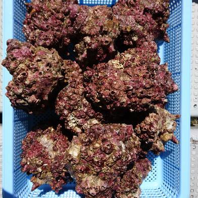 日本海で採れたフジツボだらけのサザエ2キロ 2キロ 山口県 通販