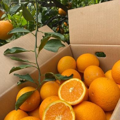 マルユー園の清見オレンジ小玉家庭用5.5キロ 5.5kg 果物(柑橘類) 通販
