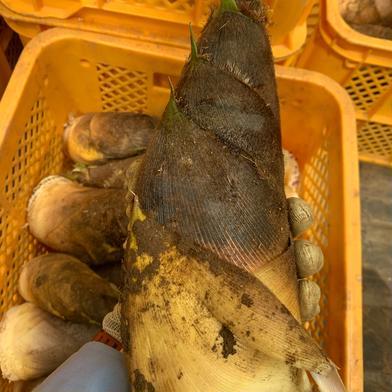 【超お得】【期間限定】 詰め込み たけのこ 5キロ 果物や野菜などの宅配食材通販産地直送アウル