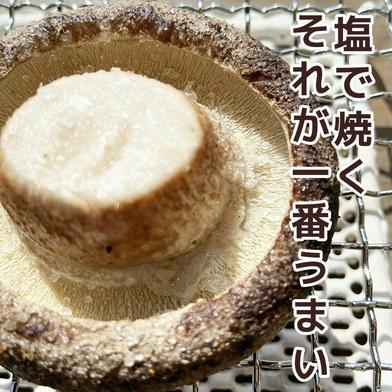 当日収穫の肉厚大、椎茸好きに一度は試してもらいたい椎茸 1.2kg 徳島県 通販