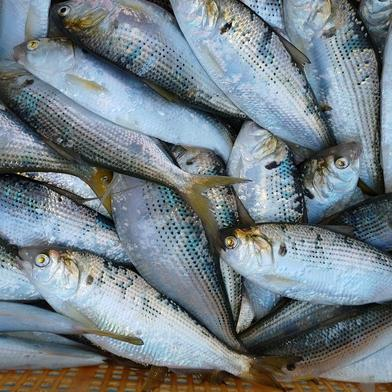 魚(コノシロ) 15匹 果物や野菜などの宅配食材通販産地直送アウル