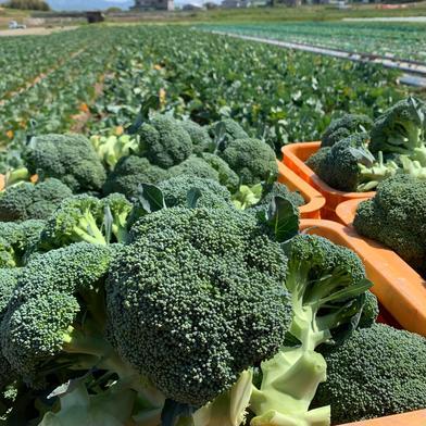 クール便❗️レタスとブロッコリーとキャベツと新玉ねぎ入りの季節野菜セット 果物や野菜などの宅配食材通販産地直送アウル