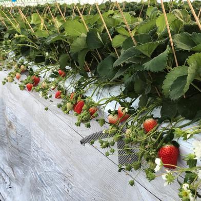 【サイズ色々、クール冷蔵便】キンド酵素栽培いちご「さがほのか」 270g×4パック サイズ3L〜Lの混合です。 果物(いちご) 通販