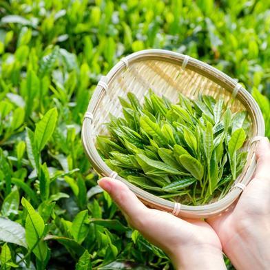 【2021年度産新茶】七日摘み,十日摘み,八十八夜摘み,限定特蒸 100gずつ計4袋  100gずつ計4袋 お茶 通販