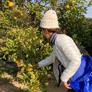 今季限定価格!9.5kg 小さめ【訳あり】八朔☆ネット販売スタート記念 9.5kg 果物(柑橘類) 通販
