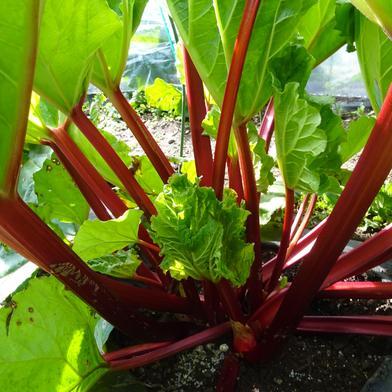 甘酸っぱさがたまらない!「まっ赤なルバーブ・クリムゾンチェリー」(生茎2キロ) 生茎2キロ 果物や野菜などの宅配食材通販産地直送アウル