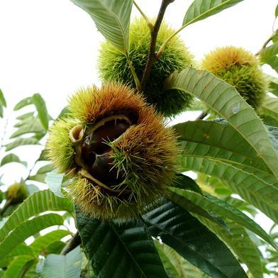 茨城のうまい栗(紫峰)約1kg(約35個) 1Kg(約35個) 果物(栗) 通販