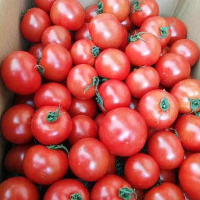 田んぼ屋たなかの「ミディ―トマト」 1kg ミディ―トマト 1kg 香川県 通販