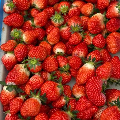 いちごさん(ジャム用3kg+小粒苺1.5kg) 4.5kg(ジャム用3kg+小粒1.5kg) 果物(いちご) 通販