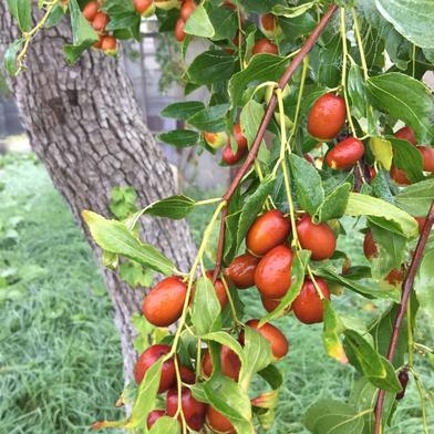 羽後町の樹齢40年以上のナツメ 500グラム 秋田県 通販