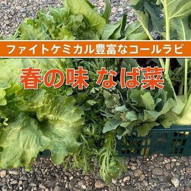 なば菜・のらぼう菜など春の野菜 野菜はそれぞれ約150g〜200g、コールラビは1個 茨城県 通販