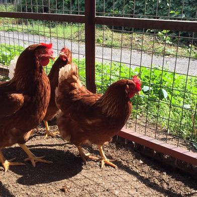 【酵母・平飼い卵40個】酵母を与えて育った平飼いたまご(元気たまご)40個 40個(10個入り紙パックで4つ) 卵 通販