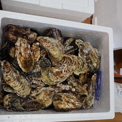 兵庫県相生産 殻付き生牡蠣3キロ ナイフ付き 殻付き3キロ 兵庫県 通販