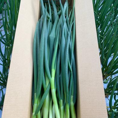 淡路島で栽培した青ネギ3kg 青ネギ3kg hopewill淡路島