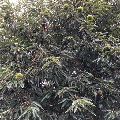 てぶく郎農園の無農薬栽培生栗1Kg 1Kg 果物(栗) 通販