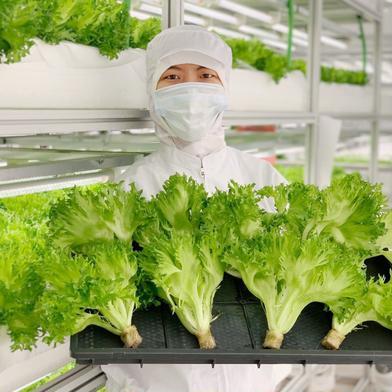 【一週間しっかり食べれる!】新鮮シャキシャキ!京都伏見産水耕レタス🥬 1キロ 野菜(レタス) 通販