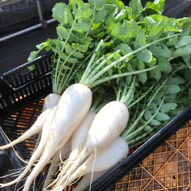 飲食店・大根好き必見‼️葉付き大根2kg🥗 2kg 果物や野菜などの宅配食材通販産地直送アウル